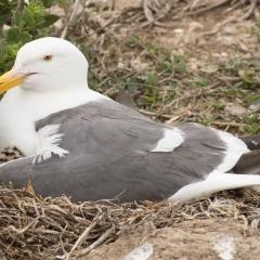 Gull & Chick