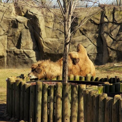 Slumpy the Bactrian camel