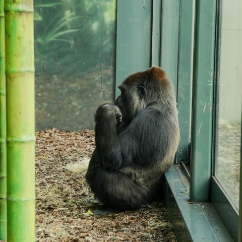 Wenstern Lowland Gorilla