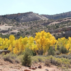 Aspens in the Colorado National Monument