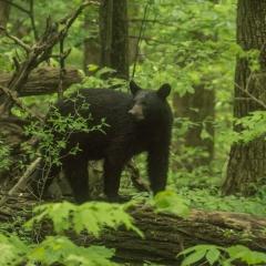 Black Bear-1