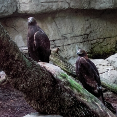 Golden Eagles