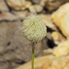 Green Puffball Flower