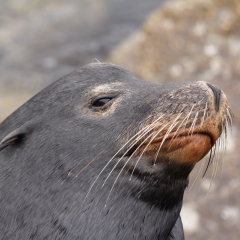 Sea lion...one more