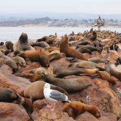 Sea lions' rough life