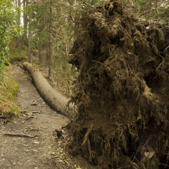 Down Tree
