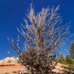 Bryce Canyon Bristle Cone Pines