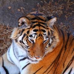 Wild Animal Sanctuary - TIger