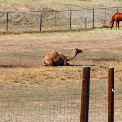 Wild Animal Sanctuary - Camel