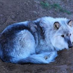 Wild Animal Sanctuary - Wolf