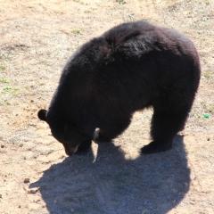 Wild Animal Sanctuary - Bear