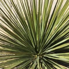 Misc Succulent