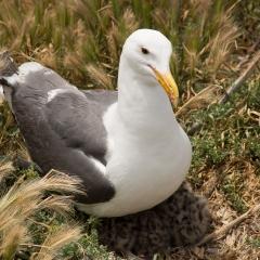 Gull & Chicks