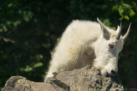 Rock Licking Mountain Goat