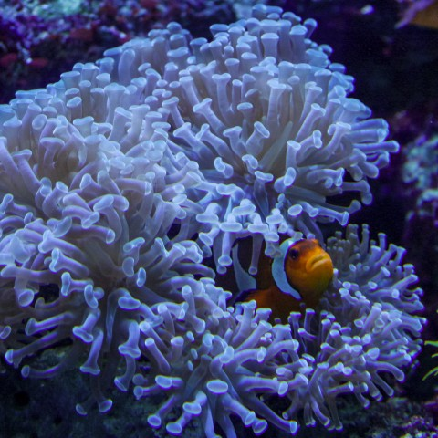 Clown fish & Anemone