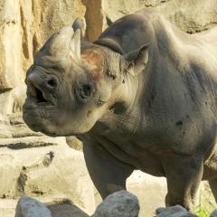 Northern Black Rhino
